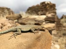 Lizard in Chaco